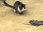 Cat is Playing with Dangerous Snake