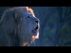 Big Cats Love - Lion's Roar